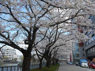 후쿠이 성 바로 바깥에 있는 벚나무