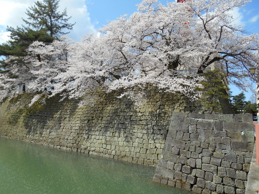 Beautiful cherry blossoms on top of the stone wall