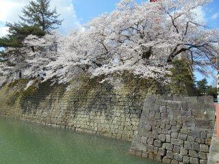 ดอกซากุระที่สวยงามบนยอดกำแพงหิน