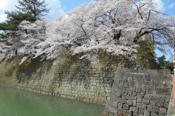 후쿠이 성의 꽃놀이