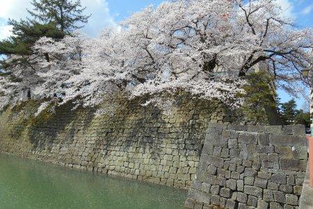 Lễ hội hoa anh đào ban ngày tại thành Fukui