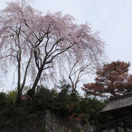 Hoa anh đào trên núi Minobu, Yamanashi