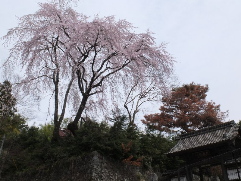 <p>Sakura at the temple&#39;s entrance</p>