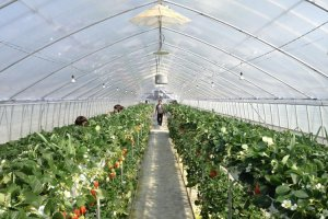 Rows of strawberries inside the hot house.