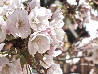 京都二条城にて、城を背景に咲く桜の花