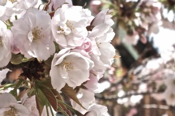 교토 니죠성 주변 벚꽃
