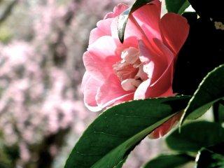 椿の花と桜