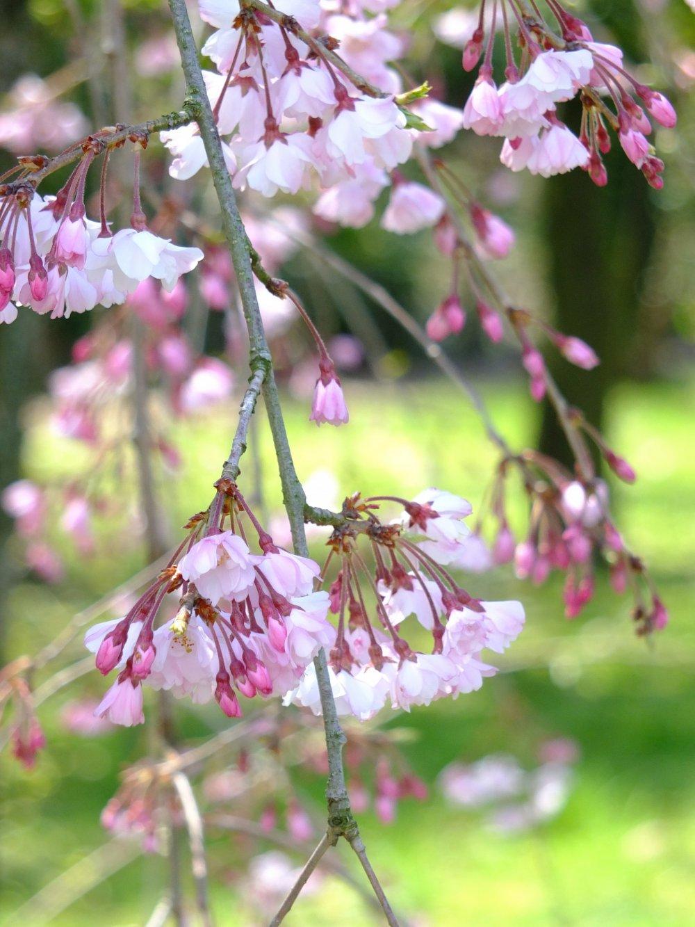 枝垂れ桜と緑の草原