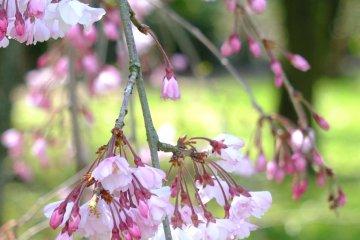 수양벚나무와 저 너머 들판의 푸른 풀