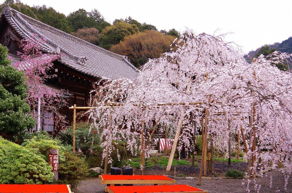 강한 양의 힘을 발산하는 거대한 수양 벚나무