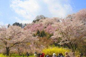ผู้คนต่างหลั่งไหลมาเพื่อชมภูเขาซากุระ