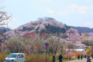 ภูเขาซากุระอีกลูกหนึ่งจากระยะไกล
