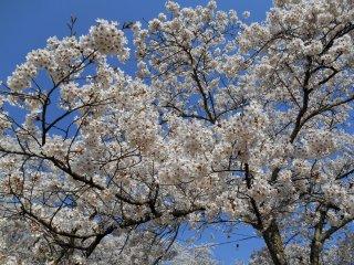 활짝 핀 벚꽃의 클로즈업