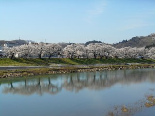 Reflection of cherry trees on the water surface of the Shiroishi River
