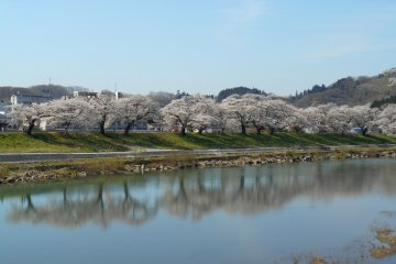 <p>Reflection of cherry trees on the water surface of the Shiroishi River</p>