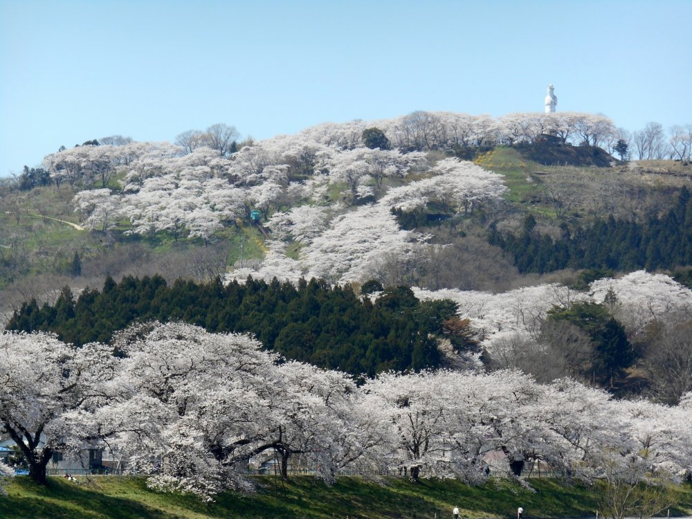Funaoka Castle Park on the hill and statue of the Goddess of Peace. The hill itself has more than 1000 cherry trees