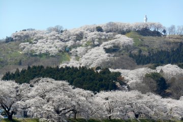 Shibata Sakura Festa - Riverbank
