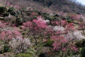 Yugawara's famous plum tress in full bloom!