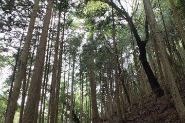 เส้นทางเดินไต่เขา คิบุเนะ-คุรามะ