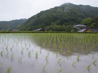 Across from the parking lot, you'll see flooded rice fields with newly planted seedlings