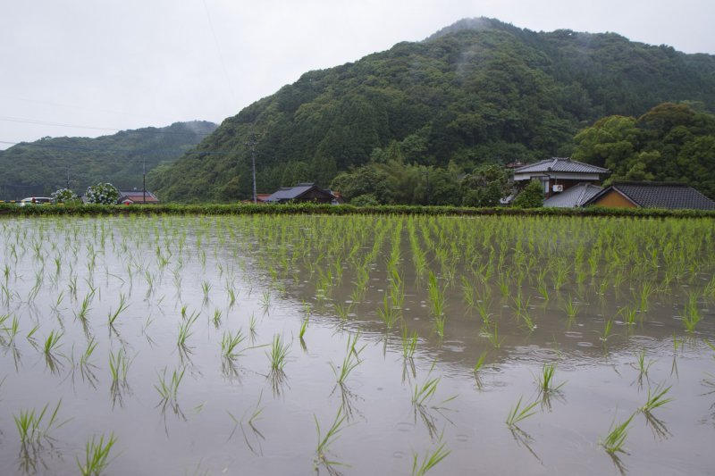 <p>Across from the parking lot, you&#39;ll see flooded rice fields with newly planted seedlings</p>