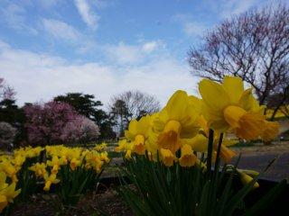 Bầu trời trong xanh, cây anh đào cổ thụ đang nở rộ, cánh đồng hoa thủy tiên bạt ngàn - kết hợp với nhau tạo nên bức tranh tuyệt đẹp