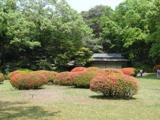 ดอกอะซีเลีย (Azalea)