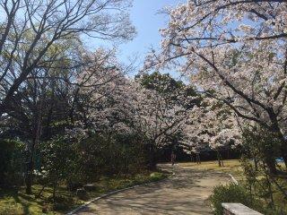 Sakura di sekitar taman