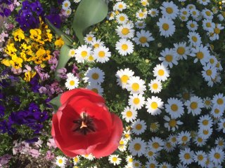 Bunga musim semi yang berwarna-warni