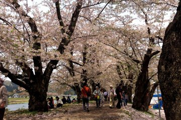 <p>A thousand cherry trees line the banks of the river next to Kakunodate</p>