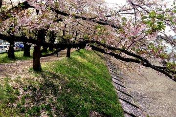 <p>Beautiful mature Cherry blossom trees at Kakunodate in Akita Prefecture</p>