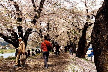 The Last Blossoms of Kakunodate