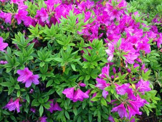 Azaleas in bloom during Golden week at YoshimineTemple in the hills above Muko