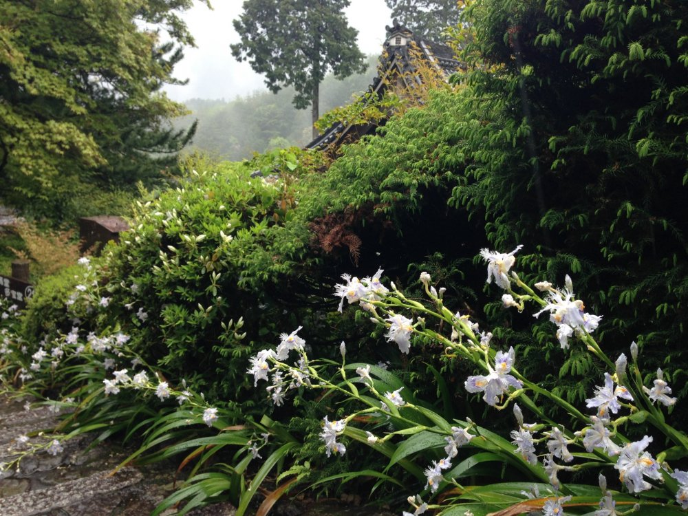 Lily like flowers grace the scene with dramatic forested mountains in the background