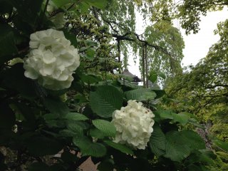 There are many kinds of Hydrangea in Japan, though these white specimens are elegant in the peaceful and mature gardens of Yoshimine-dera Temple west of Muko in Kyoto Prefecture.