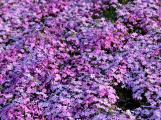 '시바자쿠라'라는 이름은 다섯개의 꽃잎 모양이 벚꽃, 즉 사쿠라와 닮았다고 하여 지어진 이름이라고 해요.