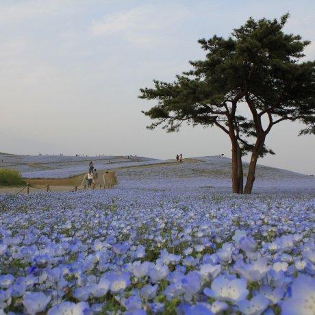 นีโมฟีล่าทุ่งสวรรค์สีฟ้าที่อิบารากิ
