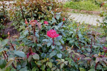 <p>There&#39;s an impressive rose garden inside the park. But the roses had just started to bloom and this was the only one flowering</p>