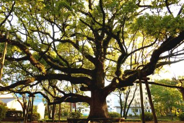 <p>This tree was towering over the statue of the first lord of Tokushima Han, Hachisuka Iemasa, from behind. Trees here reminded me of the movie, The Chronicles of Narnia, in which big trees in a forest walk, talk, run and fight!</p>
