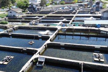 <p>ฟาร์มปลาเทราต์ที่อะซุมิโนะ</p>