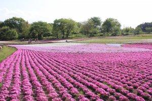 ช่วงที่ไปคือปลายเดือนเมษายน ดอกไม้ของแต่ละแปลงจึงบานไม่เท่ากัน