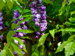 Double-flowered wisteria