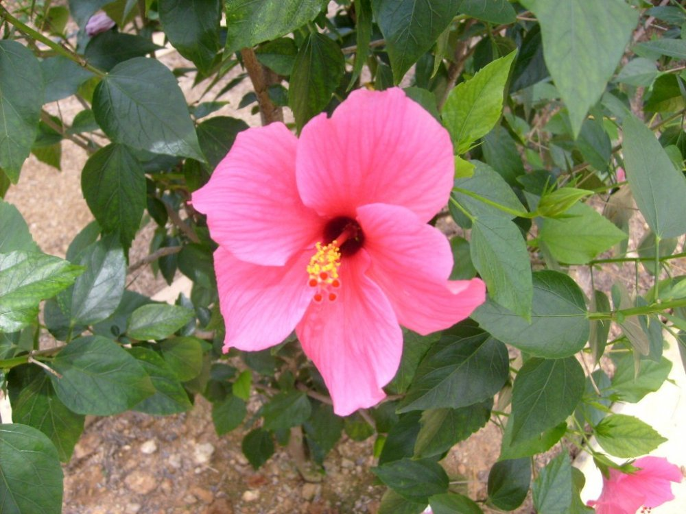 수분하는 벌들을 끌어모으는 밝은 분홍색 꽃