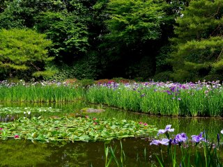 Iris and water lilies