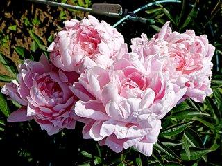 Những bông hoa mẫu đơn màu hồng nhạt
