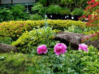 Một góc của vườn hoa mẫu đơn