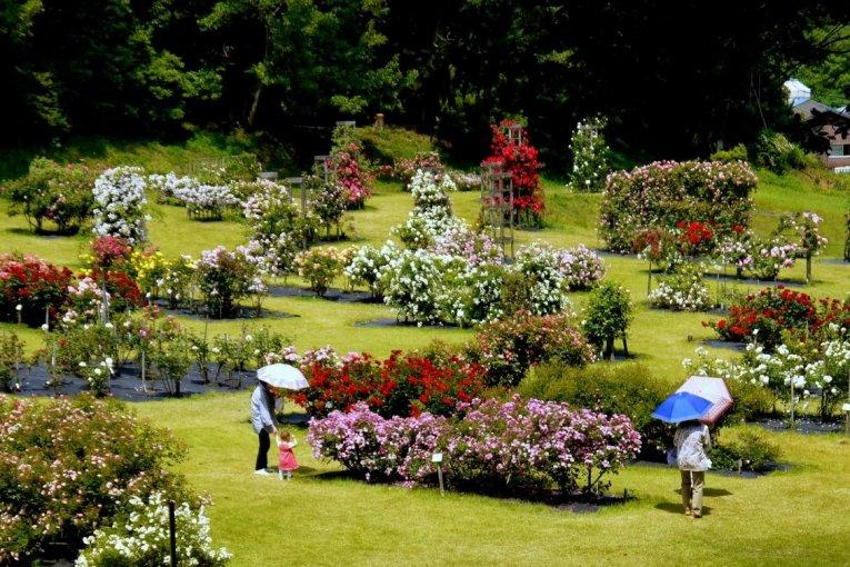 Thảm hoa hồng tại công viên Nozuta
