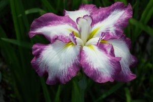 紫と白の交じった菖蒲のクローズアップ