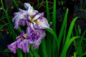 暑さにうな垂れる菖蒲。しかし萎れた花も夕立が降れば生き返るだろう