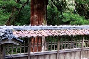 600-year-old umbrella pine and the shaded roof tiles